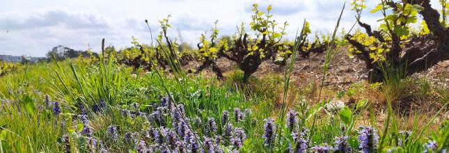 fleur dans un rang de vigne ancienne